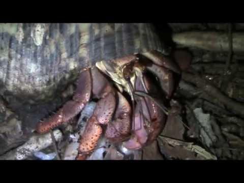 Grosso paguro di terra caraibico che mangia un gambero - Cosa mangia un cucciolo di talpa ...