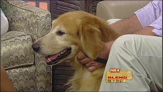 Golden Retriever Rescue Of Southwest Florida 9-10-14