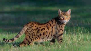 BEST OF BENGAL CAT | The Asian leopard cat