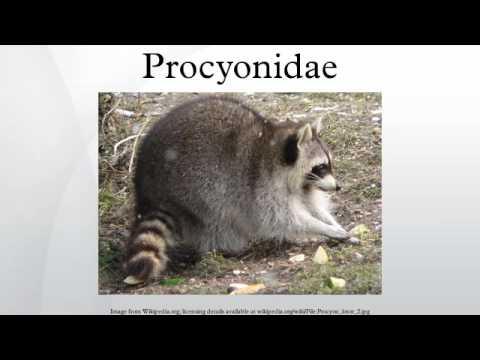Procyonidae