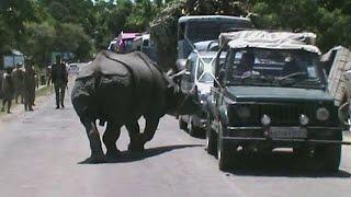 Спасающийся от наводнения носорог «перекрыл» трассу в Индии (новости)