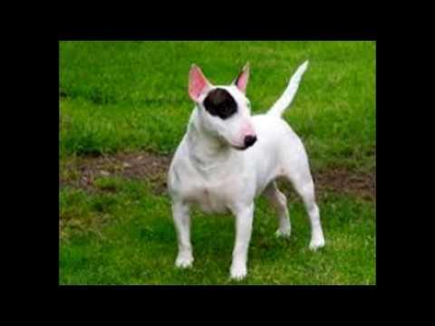 Dog Migos - American Pitbull Terrier AKCAKC