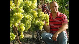 "Виноград Антоний Великий. Сезон 2017 (Grapes ""Anthony the Great"". Season 2017)"