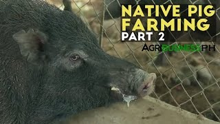 Native Pig Farming- Agribusiness Season 2 Episode 7 Part 2