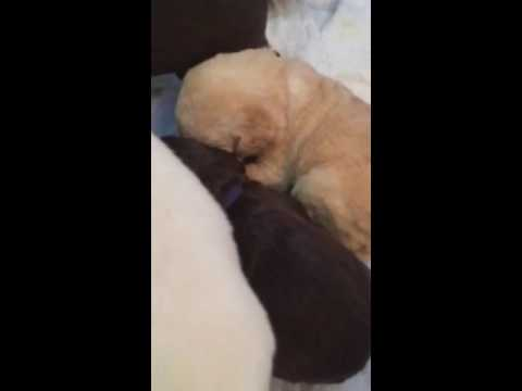 Orchard View Labradoodles Ava Puppies 2 Weeks