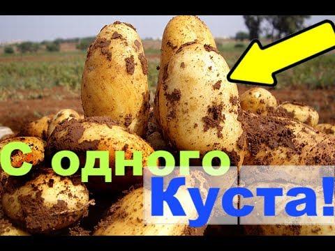 Вопрос: Как посадить картошку по-китайски, в чем суть метода, отзывы?