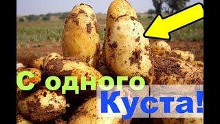 Голландский способ выращивания картофеля! Невероятно!
