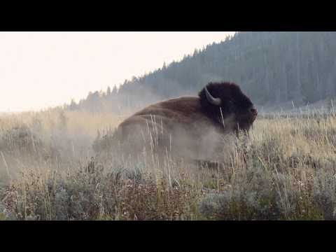 Wildlife Photography - BISON RUT - Jackson Hole / Grand Teton National Park / Yellowstone