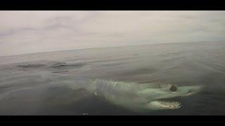Great White Shark Research in Año Nuevo, CA - Off The Lip Radio