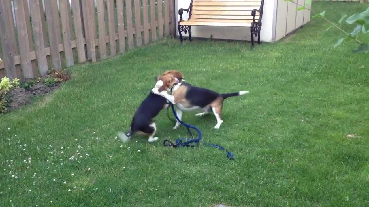 Download Two Beagle Adorable Dog - maxresdefault  Pic_928678  .jpg