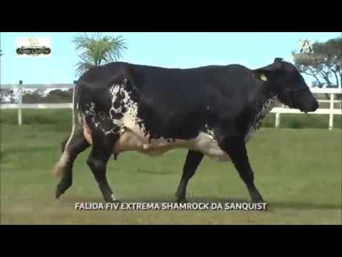 LOTE 30 FALIDA FIV EXTREMA SHAMROCK DA SANQUIST