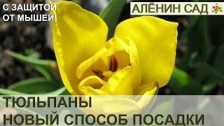 видео Способы посадки тюльпанов