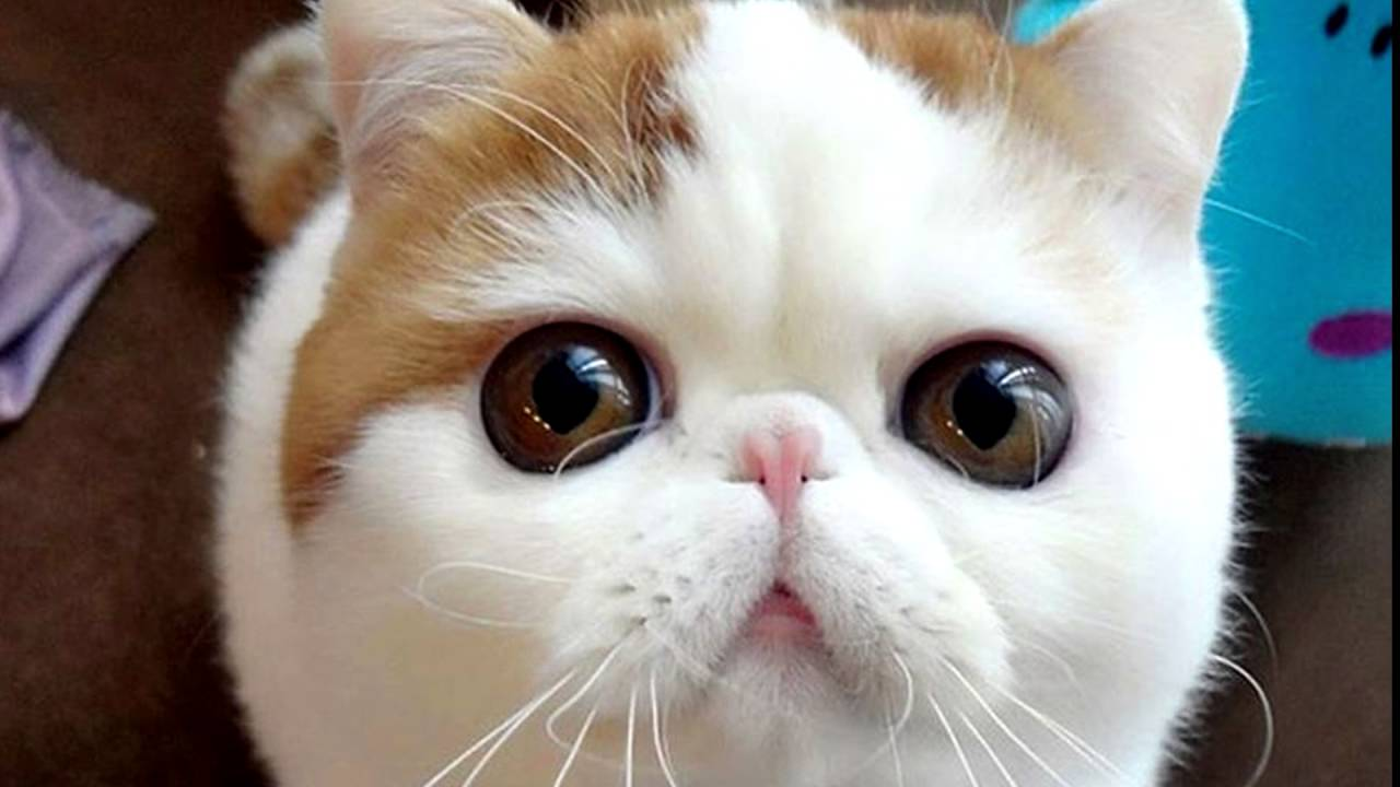 Экзотическая короткошерстная кошка. (экзот) - YouTube