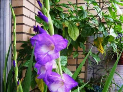 Гладиолус. Мой балкон 2010