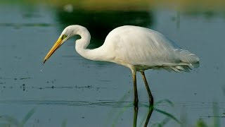 Большая белая цапля - Great egret