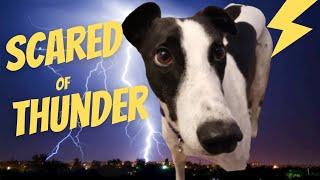 Greyhound Scared of Thunder