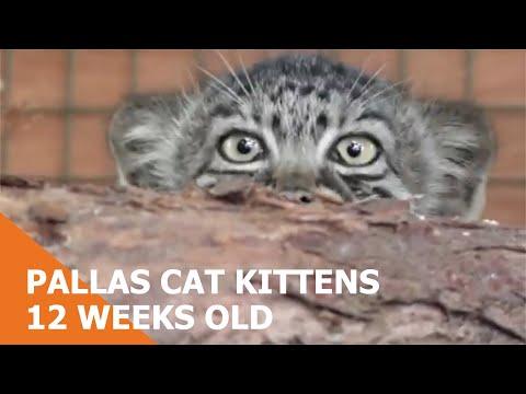 Pallass Cat Kittens 2010  12 weeks old  YouTube