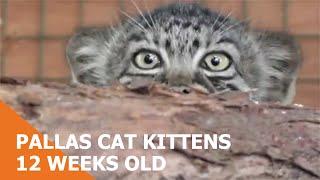 Pallas's Cat Kittens 2010 - 12 weeks old