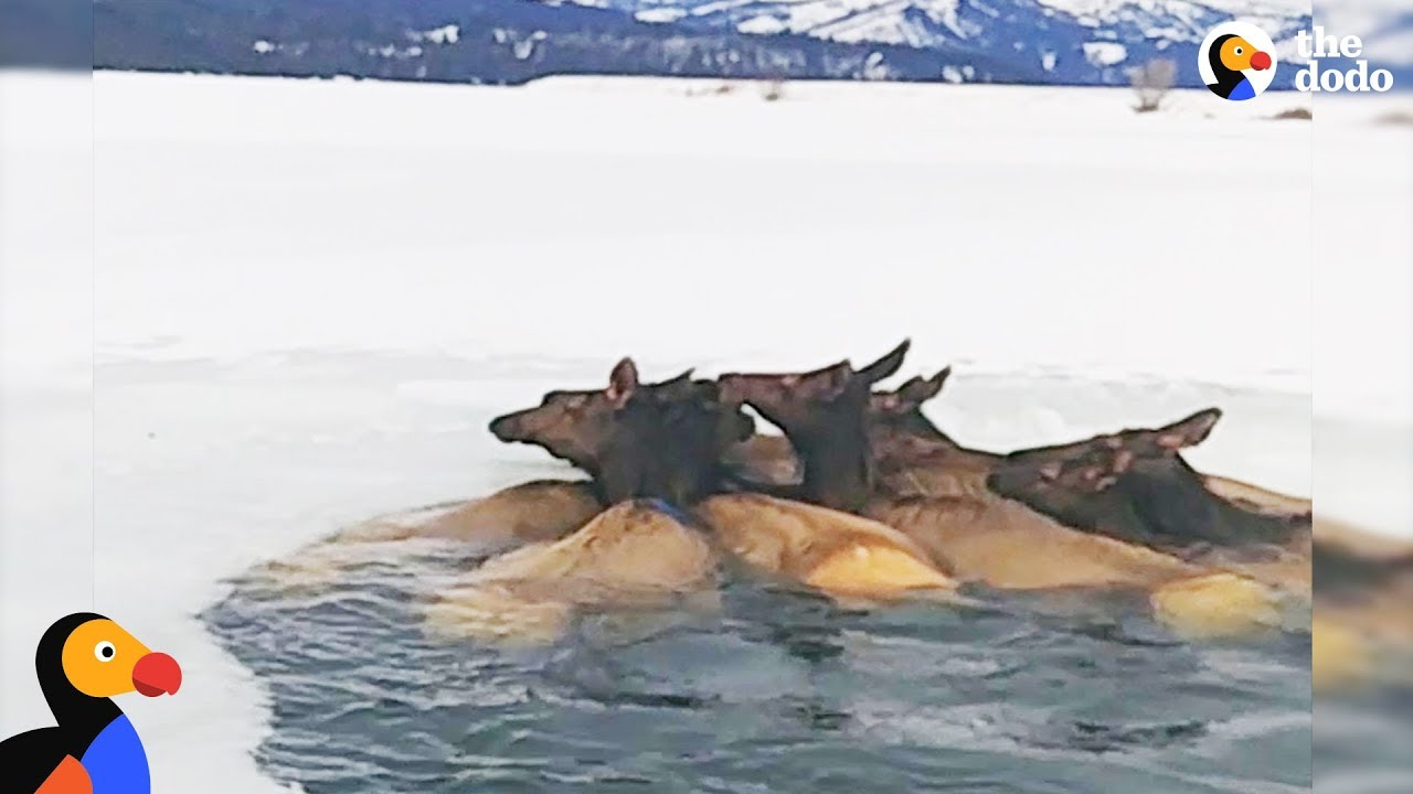 Herd of Elk Rescued After Falling Through Ice