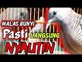 Pancingan Perkutut Lokal Agar Mau Bunyi  Mp3 - Mp4 Download