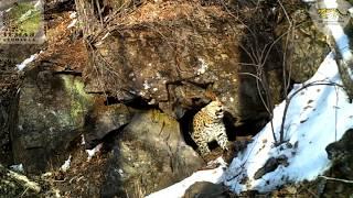 Тигр и леопард «отметились» при посещении одного грота \\ Tiger and leopard in one cave