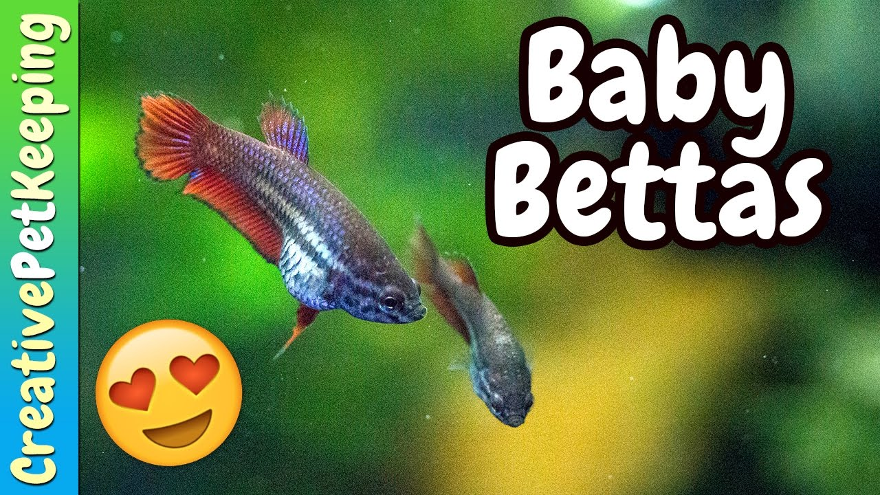 Siamese Fighting Fish Fry | New colors! - YouTube