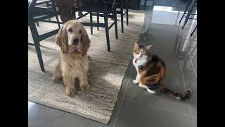 Introducing our Cocker Spaniel Puppy to our Cat