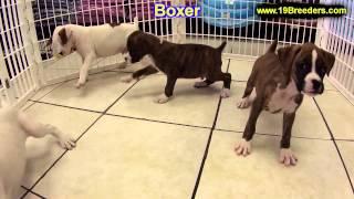 Boxer, Welpen, Für, Verkauf, In, Nordrhein Westfalen, Deutschland, Bayern, Hessen