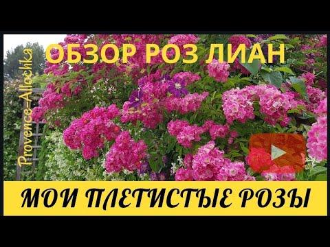 Франция/ПЛЕТИСТЫЕ РОЗЫ/ОБЗОР розы-лианы/provenceallochka