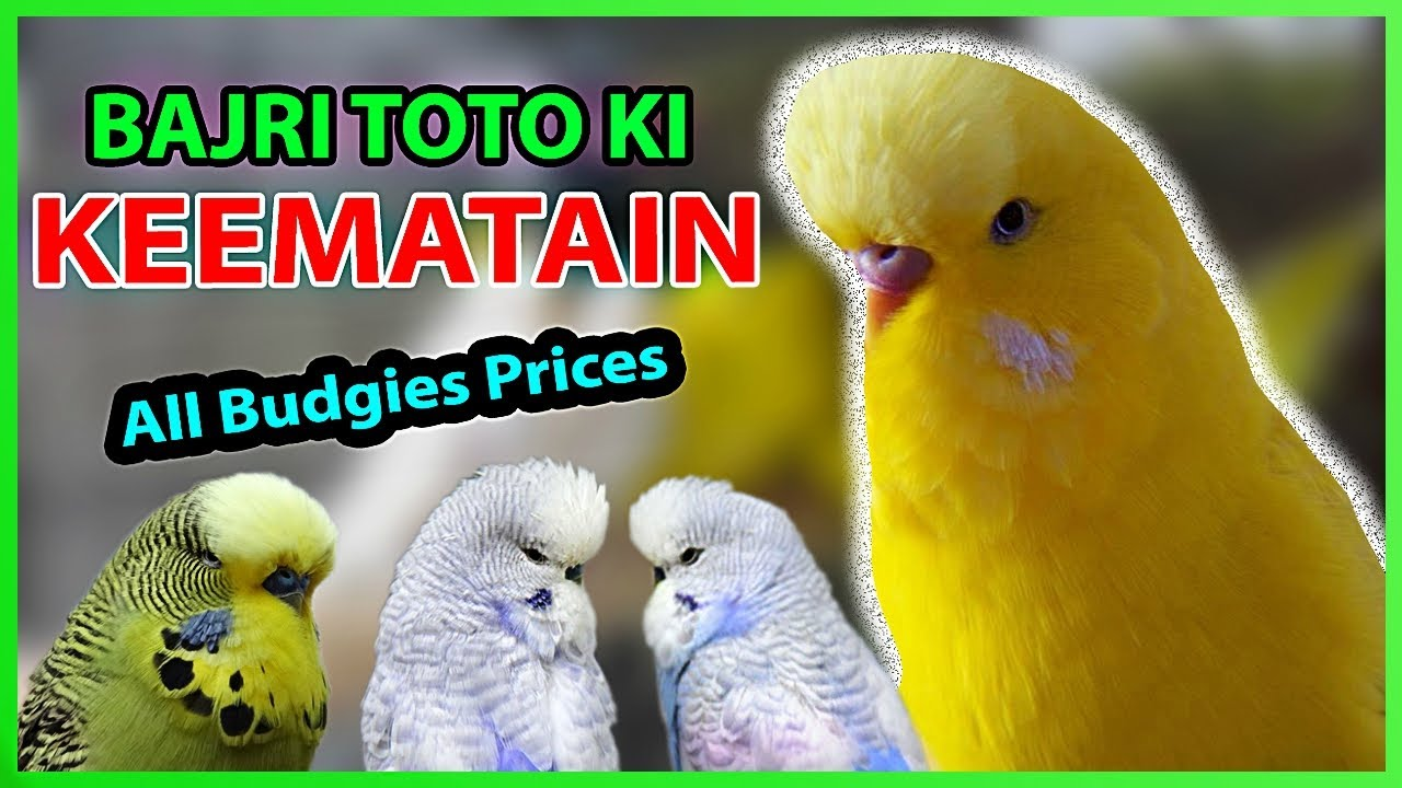 Price List 📋 of ALL BUDGIE MUTATIONS | Bajri toto k rates kia chal ...