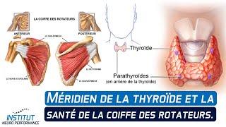Méridien de la thyroïde et la santé de la coiffe des rotateurs.