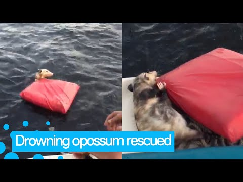 Drowning opossum gets rescued by boaters