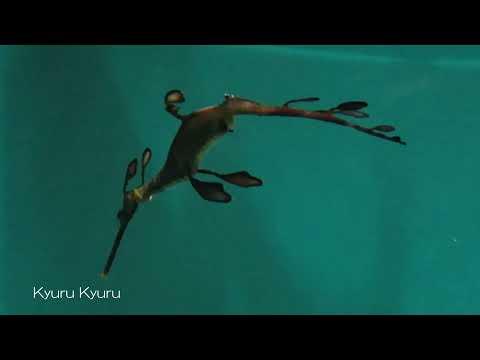 kyurulog 海藻魚泳ぐ ウィーディ シードラゴンオーストラリア西部の海を再現した水槽 kasai#12/Weedy seadragon, Australia