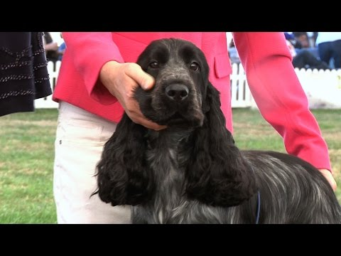 Richmond Dog Show 2016 - Gundog group - Shortlist
