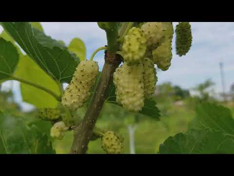 Вопрос: Почему шелковицу с чёрными плодами называют хартут?