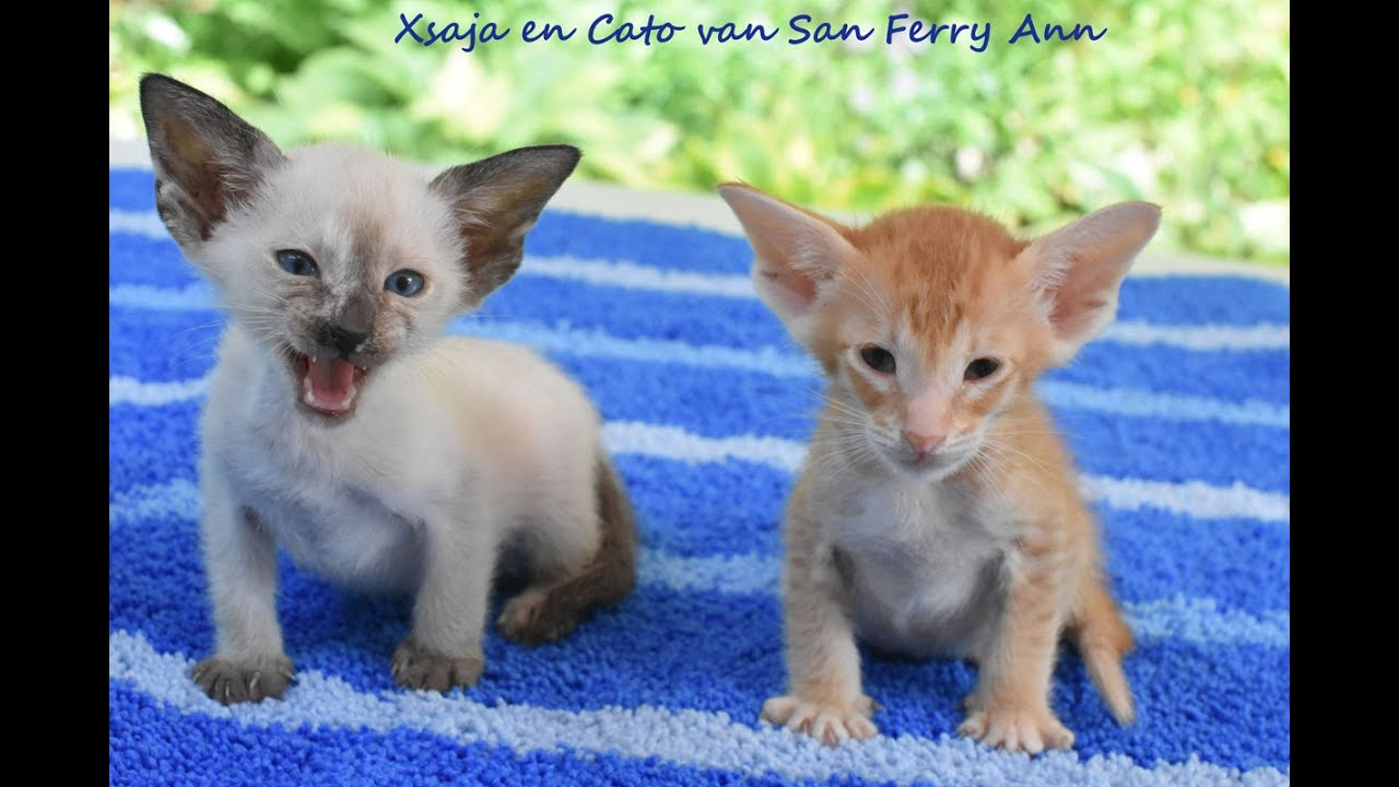 Siamese and Oriental Shorthair kittens Tiffany and Prince 2016