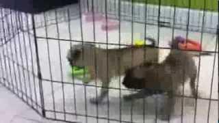 Pug Puppies For Sale In Miami Fl. Tel-305-262-7310