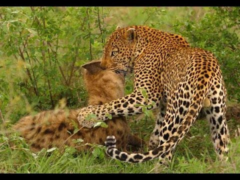 Leopard Kills A Hyena | Leopard Kills A Cheetah!!!