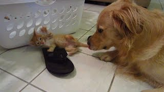 Big Dog Watching His Orange Foster Kitten Baby Attacking a Reef Sandal