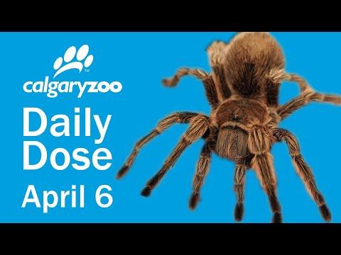 Your Daily Dose: Chilean Rose Hair Tarantulas