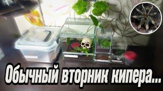 Обычный вторник кипера. Пауки-птицееды, скорпион, террариумы, новый паук