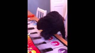 Monkey The Poodle Plays Piano