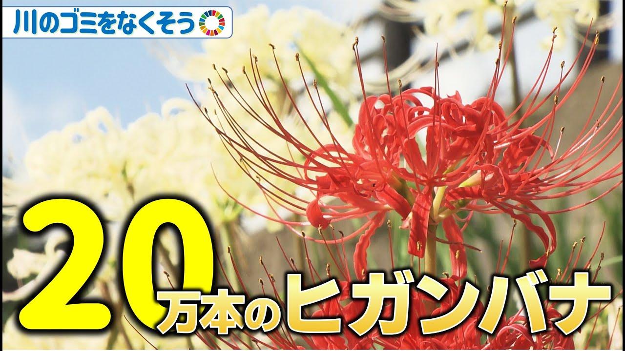 20万本咲き乱れる ヒガンバナの名所 福山市神辺町 地球派宣言