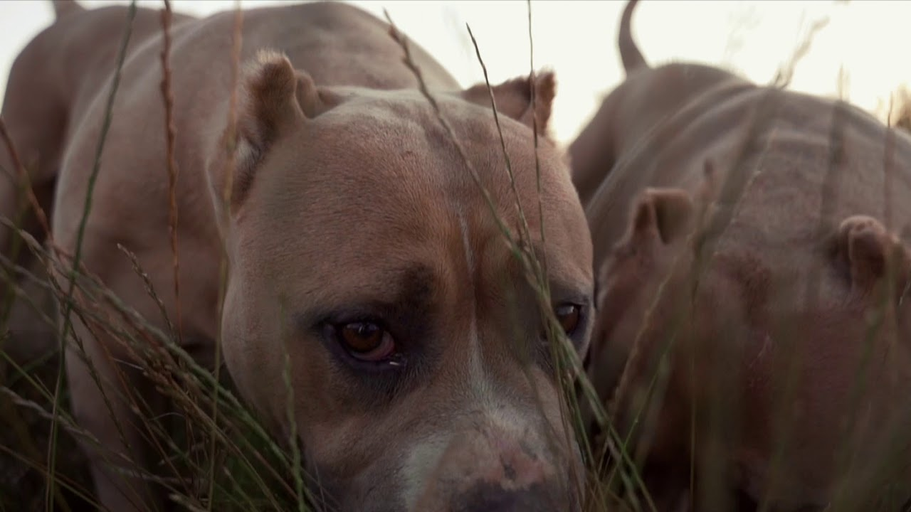 American Bully - Love is Strong
