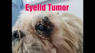 Eyelid Tumor in Dog