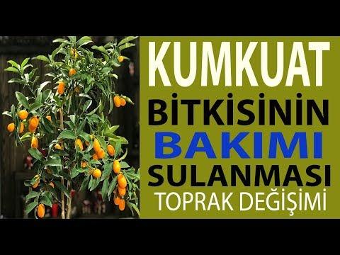 Kumkuat bitkisinin bakımı, sulanması, toprak değişimi. Kumkuat meyve nasıl verdilir.