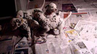 Summit Dalmatians, Mazely's 4 Weeks Old