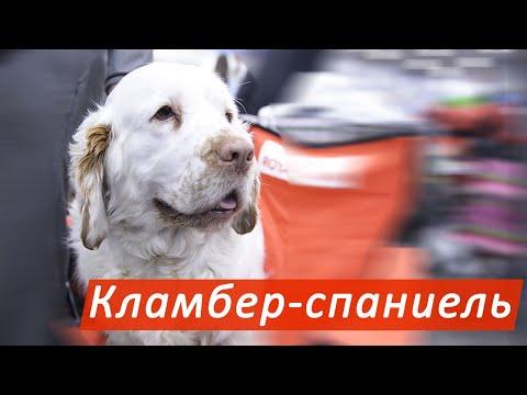 Кламбер-спаниель - редкая собака со спокойным нравом