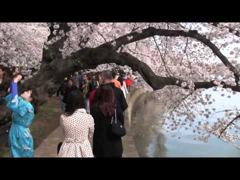 "Cherry Blossoms - ""A Walk Around the Tidal Basin"" - April 3, 2011, Rupert Chappelle"