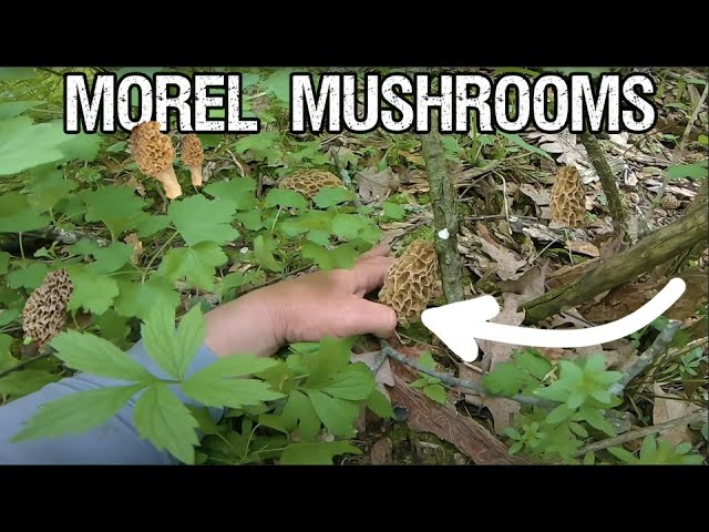 How to find MOREL MUSHROOMS (Tips/Tricks)